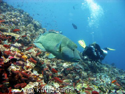 Diver filming a napolean wrasse. Taken with Canon G9 by Katie Dann 